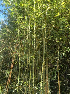 seattle bamboo